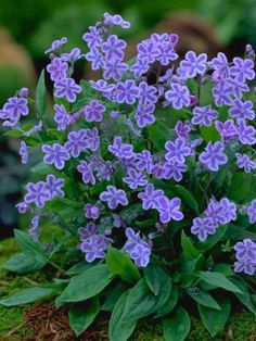 Starry Eyes Forget-Me-Nots (Omphalodes)