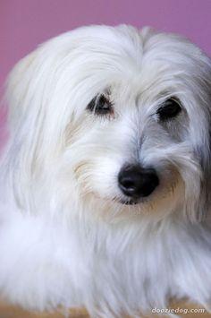 http://cdn-6.dooziedog.com/dog_breeds/coton_de_tulear/images/full/Coton-de-Tulear.jpg