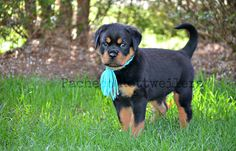 #Teal #sixweeks #rottweiler #puppy #love #breeder #adorable #family #friend #companion #outdoor #fun