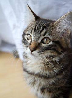I had a Maine Coon cat that looked a lot like this kitty, I named her Smedley Hoover.
