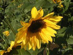 Sunflower - Gallery - Elle | pmp-art.com