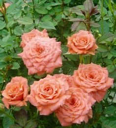 Peach Roses via Lovely Roses Facebook page