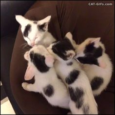 Animated KITTEN GIF • 4 cute black and white Kittens grooming each other. They are adorable, happy family.