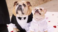 john legend boda bulldog frances bulldog ingles