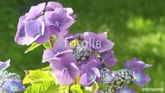 """Download the royalty-free video """"Blue hydrangea blooming in the garden, HD footage"""" created by JulietPhotography at the best price ever on Fotolia.com. Browse our cheap image bank online to find the perfect stock video clip for your marketing projects!"""
