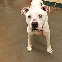Independence, Missouri - Pit Bull Terrier. Meet Toot Sweets, a for adoption. https://www.adoptapet.com/pet/20886180-independence-missouri-pit-bull-terrier-mix