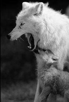 Indépendance, instinct sauvage, guide intérieur, initiatrice, novatrice Elle est l'instinct sauvage des forêts et des montagnes.Elle est la beauté pure et intacte de la neige et de la nature elle est le chant de la lune, le hurlement de la neige et la...