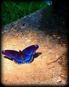 ~  #bluebutterflies
