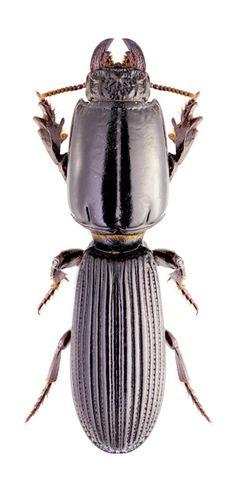 Parathlibops cf. minor-glabriventris