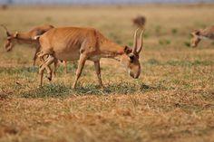 Saiga-Antilopen - Foto: iStock.com/botafogo_dentro