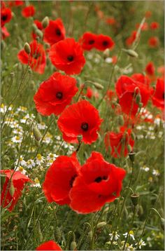 Red Poppies . . . . for fallen heroes.