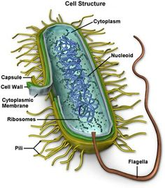 The Mycoplasma cell structure