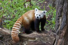 Despite it's name, the red panda is not related to the giant panda. Its closest relative is the raccoon!