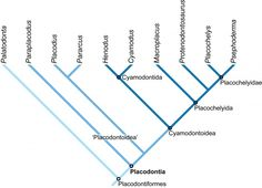 Phylogenetic relationships of placodont genera. With the exception of Placodus, only European taxa are included, as no phylogenetic studies have yet been published on Chinese cyamodontoid taxa. This work is currently being conducted, however.