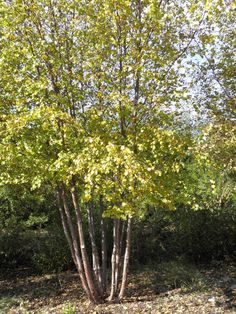 Scientific name: Betula occidentalis Common name: Water birchZone: 3Height: 10'-40'Spread: 10'-30'