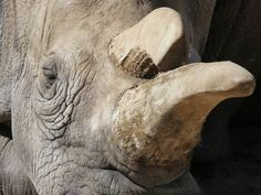 Northern White Rhinos Now Number Three: The 41-year-old Nola died this week, leaving only three northern white rhinos left in the world.