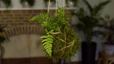 Presenter, writer and gardener Ellen Mary, shows you how to make kokedama, a type of Japanese hanging bonsai. This is a fun project to make in an afternoon. Outdoor Garden Bench, Indoor Garden, Indoor Plants, Ferns Garden, Bonsai Garden, Plantas Bonsai, Inside Plants, Paludarium, Hanging Plants