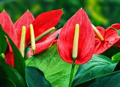 Pictures Of Tropical Flowers Rare Flowers, Anthurium, Shadow Plants, Plant Identification App, Tropical Flowers, Tropical Plants, Flowers For Sale, Shade Plants, Anthurium Flower