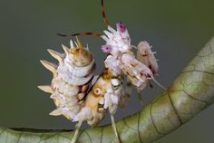 spiny flower mantis- Google Search