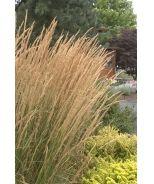 Foerster's Feather Reed Grass (Calamagrostis x acutiflora 'Karl Foerster') - Monrovia