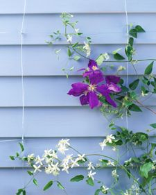 Invisible Trellis - I current use plastic chicken wire I found at Lowes that I hang from the eave of the house for my vines but this might work in my entry which doesn't need that much height.  clm