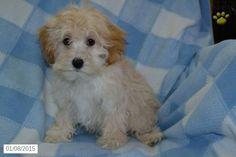 Maltipoo Puppy for Sale in Ohio http://www.buckeyepuppies.com/puppy-for-sale/maltipoo/andy