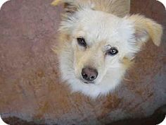 Los Angeles, CA - Pembroke Welsh Corgi/Cocker Spaniel Mix. Meet BART a Dog for Adoption.