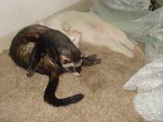 My ferrets sleeping. Somehow. #whatisthisidonteven