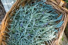 6+ Uses for Lavender Leaves | fresh lavender leaves in a basket