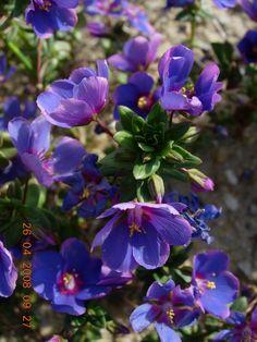 Anagallis monelli var. microphylla