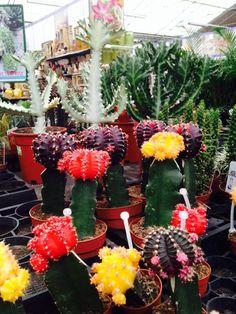 Cactussen met kleur