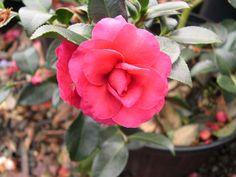 camelliashishi
