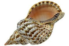 Large Triton Decorative Shell Seashell 6-7""