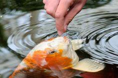 human hand feeding a fish koi food