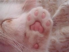 I wished for my kitty to have pink paws Crazy Cat Lady, Crazy Cats, Cat Paws, Dog Cat, Tier Fotos, White Cats, Here Kitty Kitty, I Love Cats, Techno