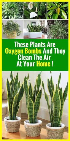 This Plants Is The Absolute Oxygen Bomb! Healthy Holistic Living, Healthy Living, Everything Is Possible, Plantation, Healthy Tips, Houseplants, Good To Know, Home Remedies, Natural Remedies
