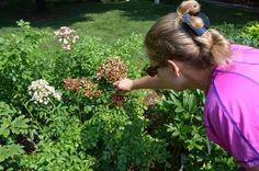 Senior horticulturist Elizabeth Fogel showing rose rosette disease on one branch. The branch in the background is still healthy.
