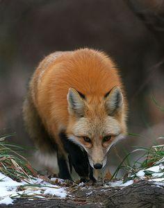 Red Fox by Dan Walters - photo.net