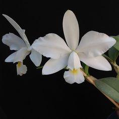 Orquídea Cattleya violacea alba