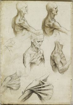 Recto: The bones and muscles of the shoulder. Verso: The superficial anatomy of the shoulder and neck   Royal Collection Trust