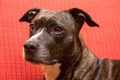 Giochi per cane Amstaff: scopriamo insieme, con il nostro articolo, quali sono i migliori giochi da fare insieme al nostro amico a quattro zampe.