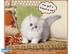 Silver Tip Persian Kitten with a heart of gold!!!!!!!!!!!!!!!!!!!!!! Find out more about this precious baby boy on our website www.dollfacepersiankittens.com ...