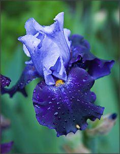 Iris plants - Google Search
