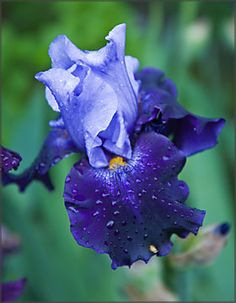 Reblooming Bearded iris Best Bet - don't you just love truly blue flowers?  And this one is fragrant! :) EasytoGrowBulbs.com