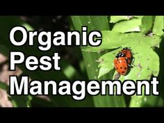 How To Urban Garden Do you have insect, grub or other pests destroying your garden plants. These simple tips of passive and active pest management have helped me become chemical. Garden Insects, Garden Pests, Organic Gardening, Gardening Tips, Urban Gardening, Vegetable Gardening, Organic Insecticide, Organic Pesticides, Japanese Beetles
