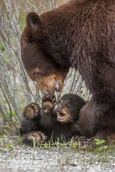 Mama black bear playing with her cub. Mama black bear playing with her cub. Rare Animals, Cute Baby Animals, Animals And Pets, Funny Animals, Beautiful Creatures, Animals Beautiful, Tier Fotos, Bear Cubs, Baby Bears