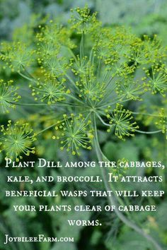 nice Plant dill with cabbage, kale & broccoli to attract wasps & repel worms....