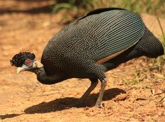 This Crested Guineafowl (Guttera edouardi) was pictured in the Hluhluwe-iMfolozi game reserve, KwaZulu-Natal, South Africa. Most Beautiful Birds, Pretty Birds, Beautiful Butterflies, Guinea Fowl, Funny Birds, Game Birds, Big Bird, Pheasant, Wild Birds
