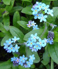 Boldoot - De Taal der Bloemen - 22. Vergeet-mij-niet - Forget-me-not (Myosotis sylvatica)