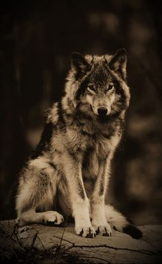 14 Super Facts About The Wolf Tattoo Life, Pet Wolf, Wolf Hybrid, Wild Animals Pictures, Wolf Artwork, Wolf Stuff, Timber Wolf, Wolf Wallpaper, Wolf Love